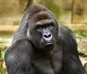 450 pound ape